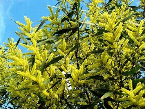 flowering-golden-wattle-tree