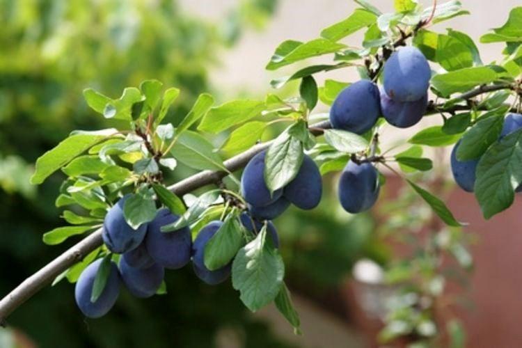 native-plum