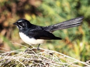 willy-wagtail